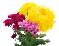 Yellow, red and pink  mum flowers Royalty Free Stock Photography