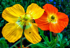 Yellow and red poppies Royalty Free Stock Photos