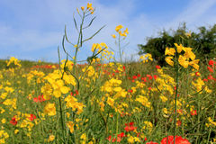 Yellow and red poppy flowers Stock Photography