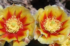 Yellow with Red Prickly Pear Flowers. Yellow and Red flowers on a prickly pear cactus.  Taken in the Sandia Mountains in New Mexico stock photos