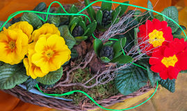 Yellow and red Primula flowers in basket Stock Photography