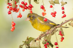 Yellow in red Royalty Free Stock Image