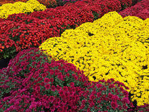 Yellow, red and purple chrysanthemums Stock Images