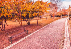 Yellow and red purple colorful leaves autumn colors in the park outdoor with a road and wood bench Royalty Free Stock Images