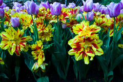 Yellow red and purple tulips in vivid color Stock Photography