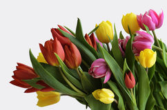Yellow, red and purple tulips on a white Stock Images