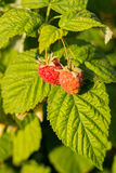Yellow red raspberries on green leaves. Berry, organic Stock Photos