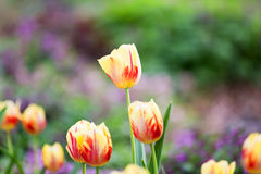 Yellow and Red Rembrandt Tulips. These birght yellow tulips with red stripes are known as Rembrandt tulips and are named after the Dutch Master artist. These stock photography