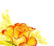 Yellow and red rose Royalty Free Stock Image