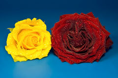 Yellow and red rose on blue background Stock Image