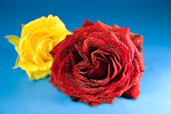 Yellow and red rose on blue background 2 Stock Photos