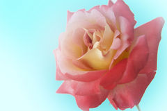 YELLOW AND RED ROSE ON THE BLUE BACKGROUND Stock Images