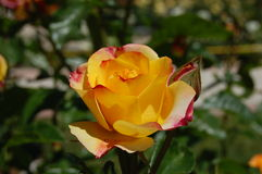 Yellow/red rose on the branch Stock Images