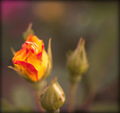 Yellow and red rose bud. With a colorful blurred background Stock Photography