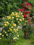 Yellow and red rose bushes with many flowers. In a park Stock Image