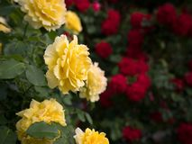 Yellow and red rose bushes with many flowers. In a park Royalty Free Stock Photos