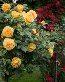 Yellow and red rose bushes with many flowers. In a park Stock Photos