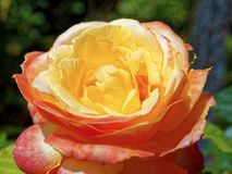 Yellow Red Rose closeup. Yellow Red Rose close up Royalty Free Stock Photo