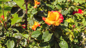 Yellow-red rose in the garden Stock Photo