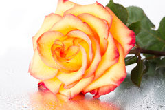 Yellow-red rose Royalty Free Stock Image