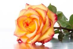 Yellow-red rose Stock Photos