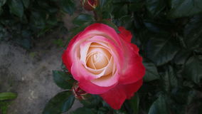 Yellow-red rose Royalty Free Stock Images