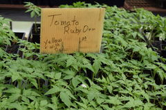 Yellow with red Ruby Orr tomato seedlings. Ready for transplant at nursery royalty free stock photography