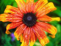 Yellow and red rudbeckia flower Stock Photography