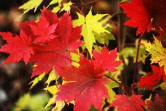 Yellow, red  sheet  maple Stock Images