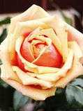 Yellow-Red Single Rose Royalty Free Stock Images