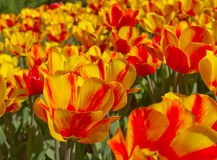 Yellow red spring flower Royalty Free Stock Images