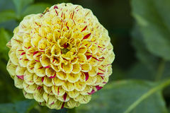 Yellow and Red Striped  Dahlia Royalty Free Stock Image