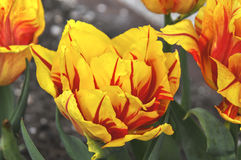 Yellow Red striped tulip Stock Image
