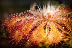 Yellow red sundew. Beautiful yellow red sundew on the dark background royalty free stock images