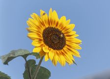 Yellow and Red Sunflower with Bee and Colorful Ornate Fly stock photos