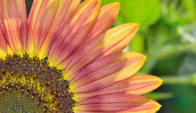 Yellow and red sunflower Stock Photos