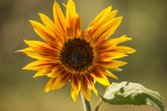 Yellow and Red Sunflower royalty free stock image