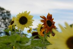 Yellow and red sunflowers underneath a cloudy sky in early fall. Green field, blue sky in distance, near the town border of Groton and Littleton, Middlesex royalty free stock photography