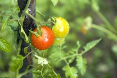 Yellow and red tomatoes with dew droplets Stock Images