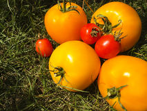 Yellow red tomatoes, on the grass Royalty Free Stock Photos