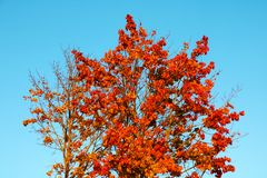 Yellow-red tree against a blue sky background.  royalty free stock photos