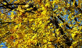 Yellow red tree, dry leaves and blue sky, blurred natural ecology autumn background. Dry yellow red tree winter leaves of various sizes and colors are disposed royalty free stock image