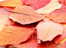 Yellow and red tree leaves with water drops Stock Photos