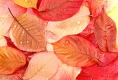 Yellow and red tree leaves with water drops Stock Photography
