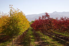 Yellow and red trees against the mountains. Royalty Free Stock Photos