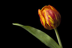 Yellow and Red Tulip. Yellow and red  tulip on black background Royalty Free Stock Images