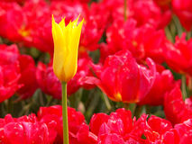 Yellow and red. Yellow tulip against the background of red tulips during the flowering in botanical garden in Lodz.n stock images
