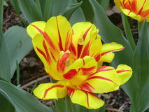 Yellow and red tulip. In bloom Stock Images