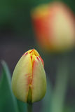 Yellow Red Tulip Bud Stock Photo