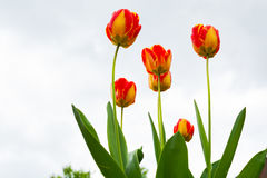 Yellow-red tulip  close-up Royalty Free Stock Image